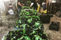 transplanting_peppers_march_2018_20180330_1015716571