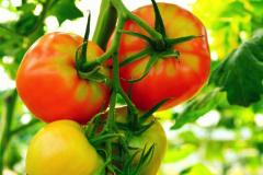 tomatoes_20180330_1498530982