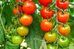 tomatoes_cherry_on_fine_rainbow_20180330_1509191529